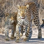 Chui Lodge - Leopards