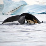Whale Watching Safari in Antarctica