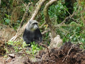 This blue monkey didn't mind the rain on Kili