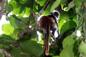 Red Colobus Monkeys at Jozani Forest Zanzibar