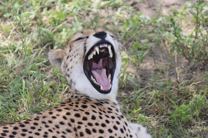 Cheetah on Tanzania Safari