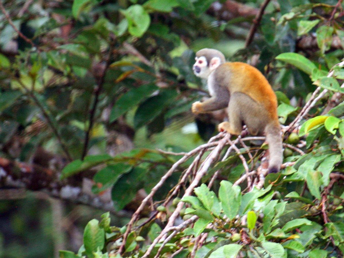 /wp-content/uploads/itineraries/Ecuador/amazon-monkey.jpg