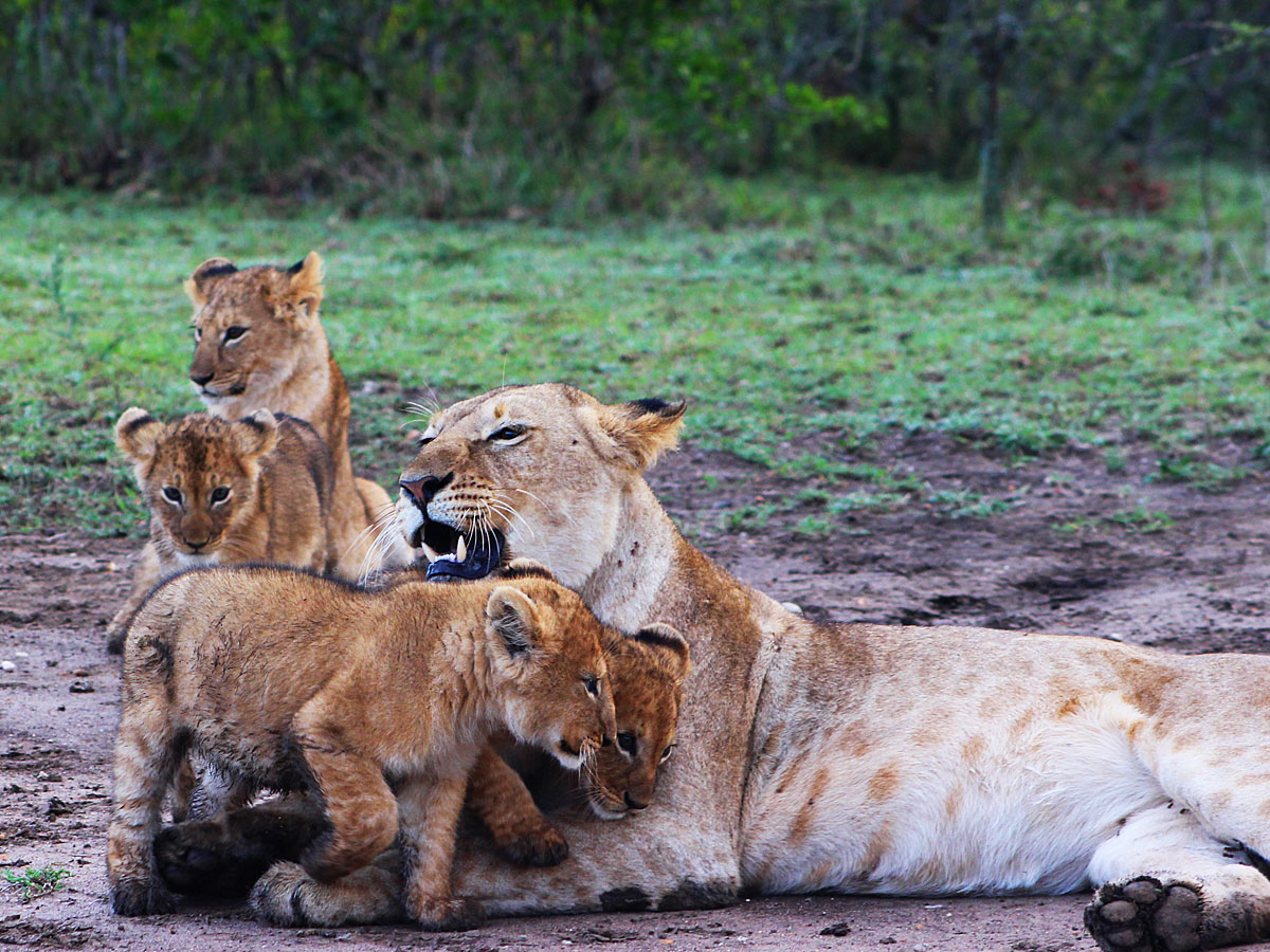 /wp-content/uploads/itineraries/Kenya/masai-mara-lion-1.jpg