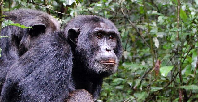 /wp-content/uploads/itineraries/Uganda/chimpanzee-trekking-kibale.jpg