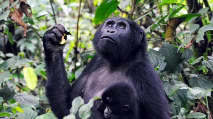 6-Day Chimps and Gorillas Express / Fly Back