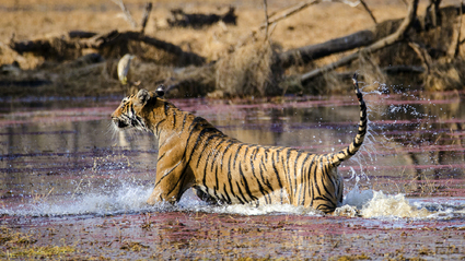 8-Day Tigers to the Taj: The Tigers of India with Khajuraho