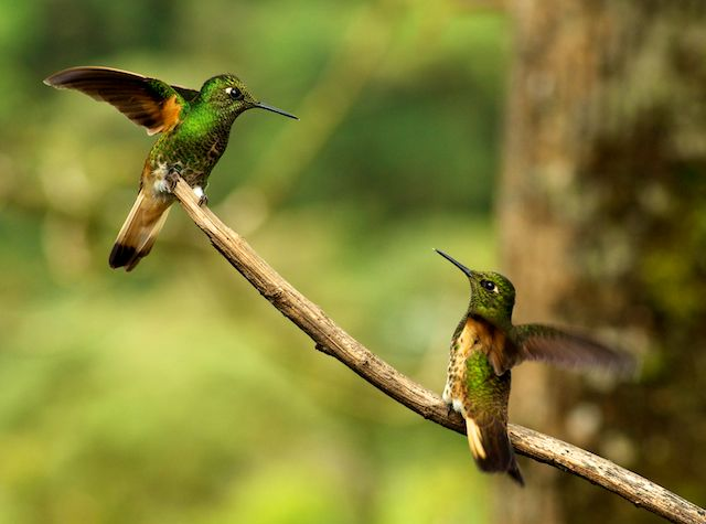 wp-content/uploads/itineraries/Ecuador/mashpi-wildlife-hummingbird-1.jpg