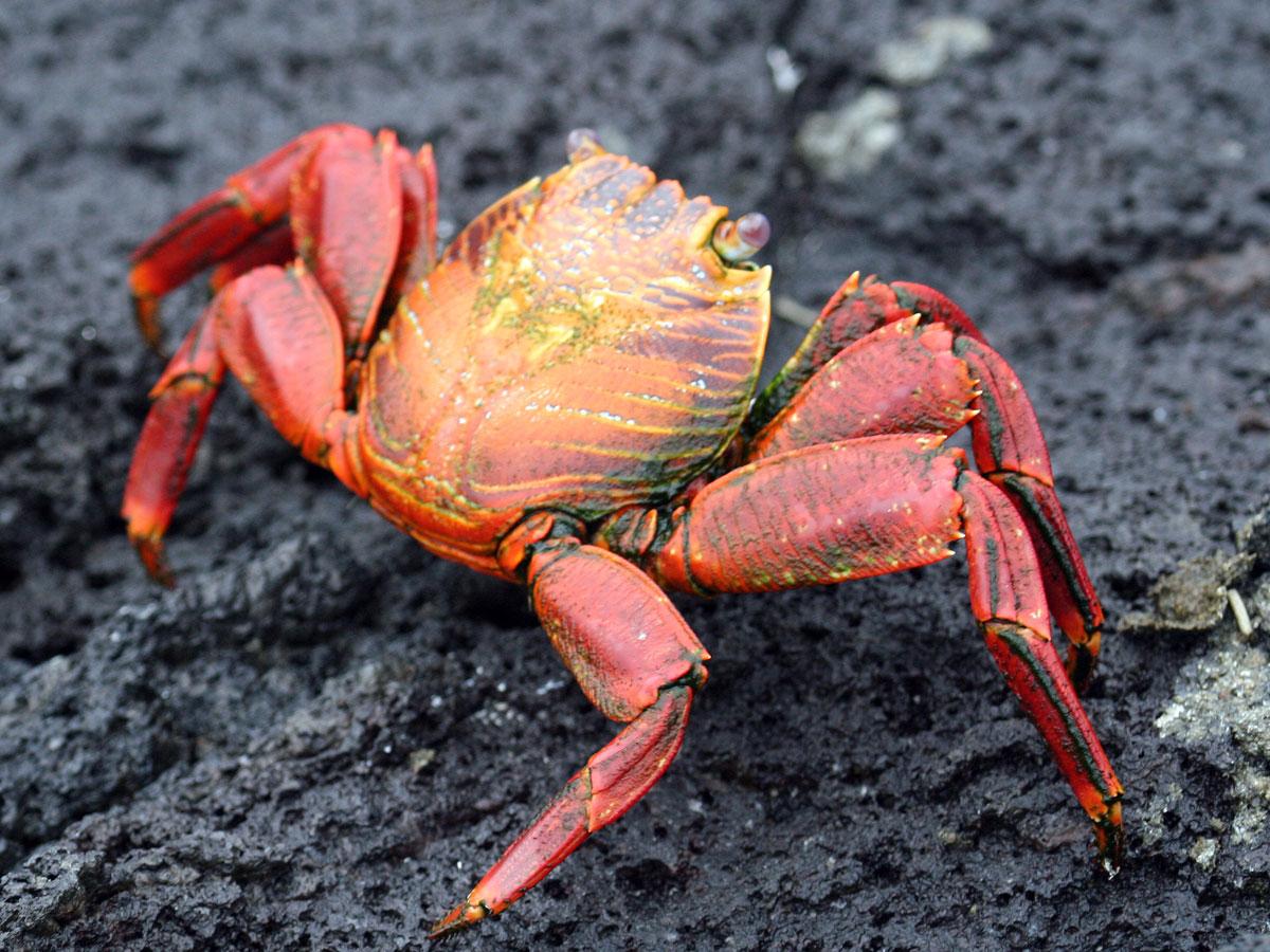wp-content/uploads/itineraries/Galapagos/032310galapagos_espinosa_crab-(6).jpg