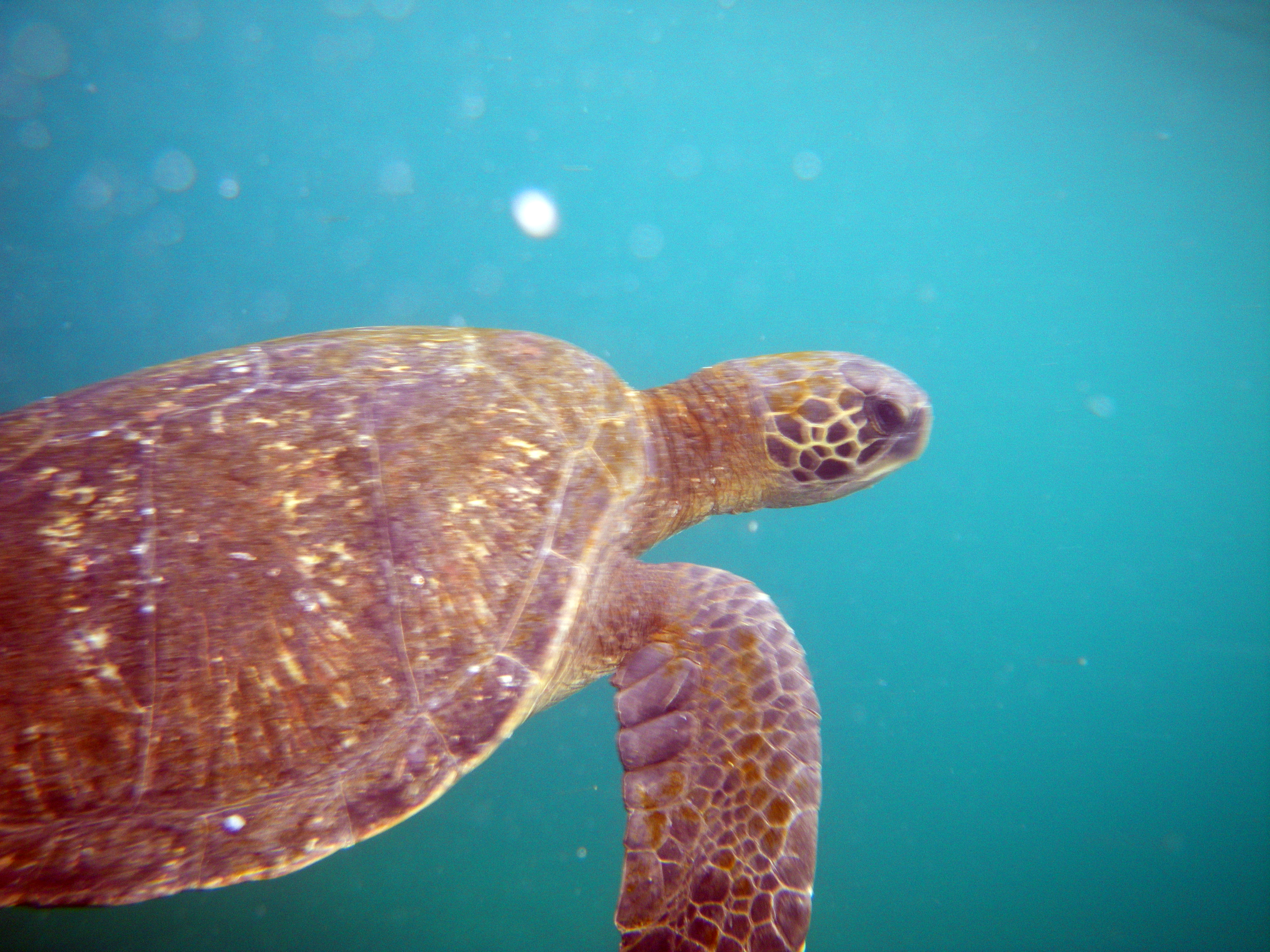 wp-content/uploads/itineraries/Galapagos/032310galapagos_taguscove_underwater_seaturtle (12).JPG