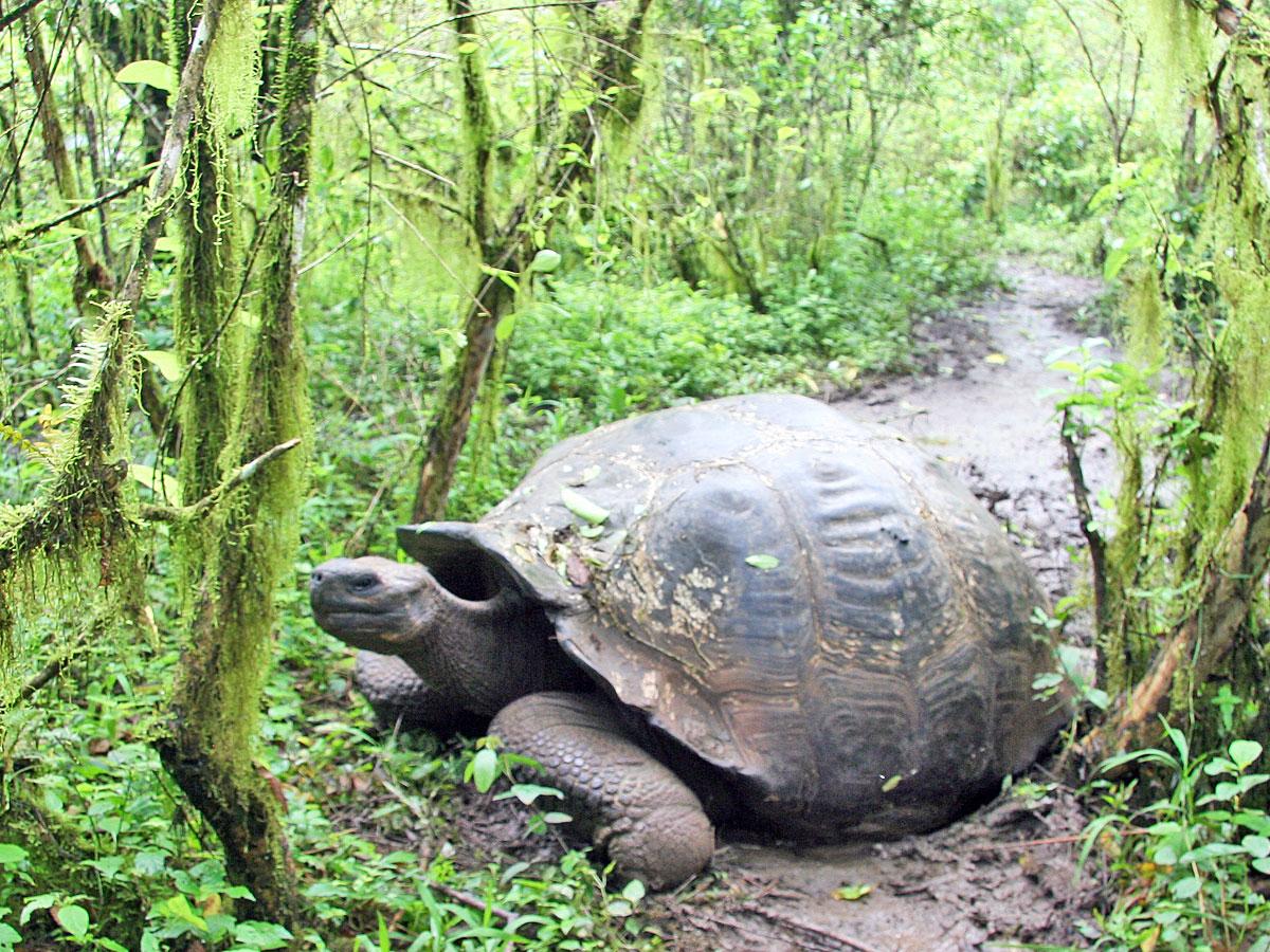 wp-content/uploads/itineraries/Galapagos/032610galapagos_santacruz_highlands_tortoise-(20).jpg
