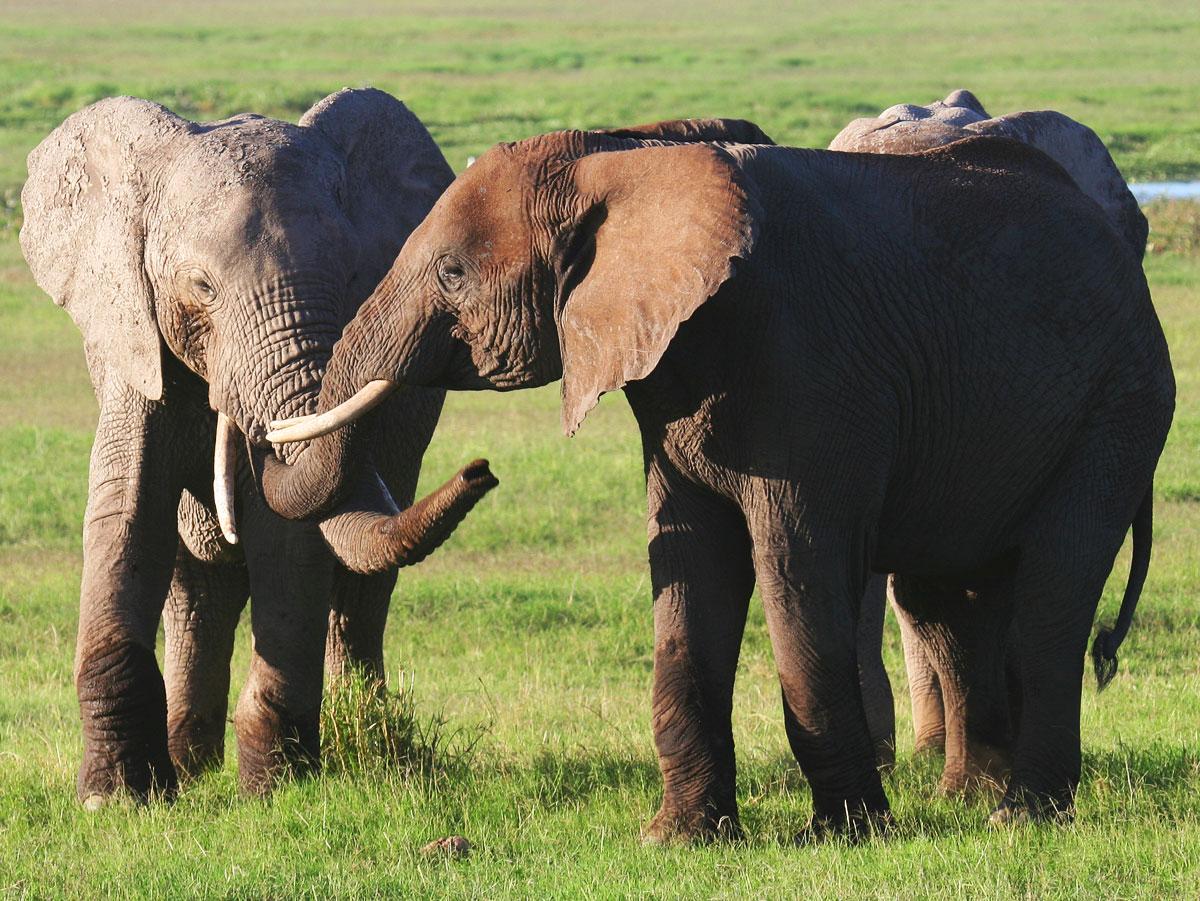 wp-content/uploads/itineraries/Kenya/amboseli_elephants_010208-(27).jpg