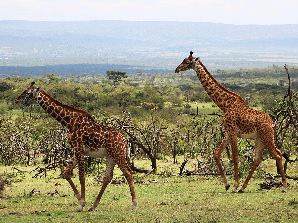 wp-content/uploads/itineraries/Kenya/masai-mara-giraffe-1.jpg