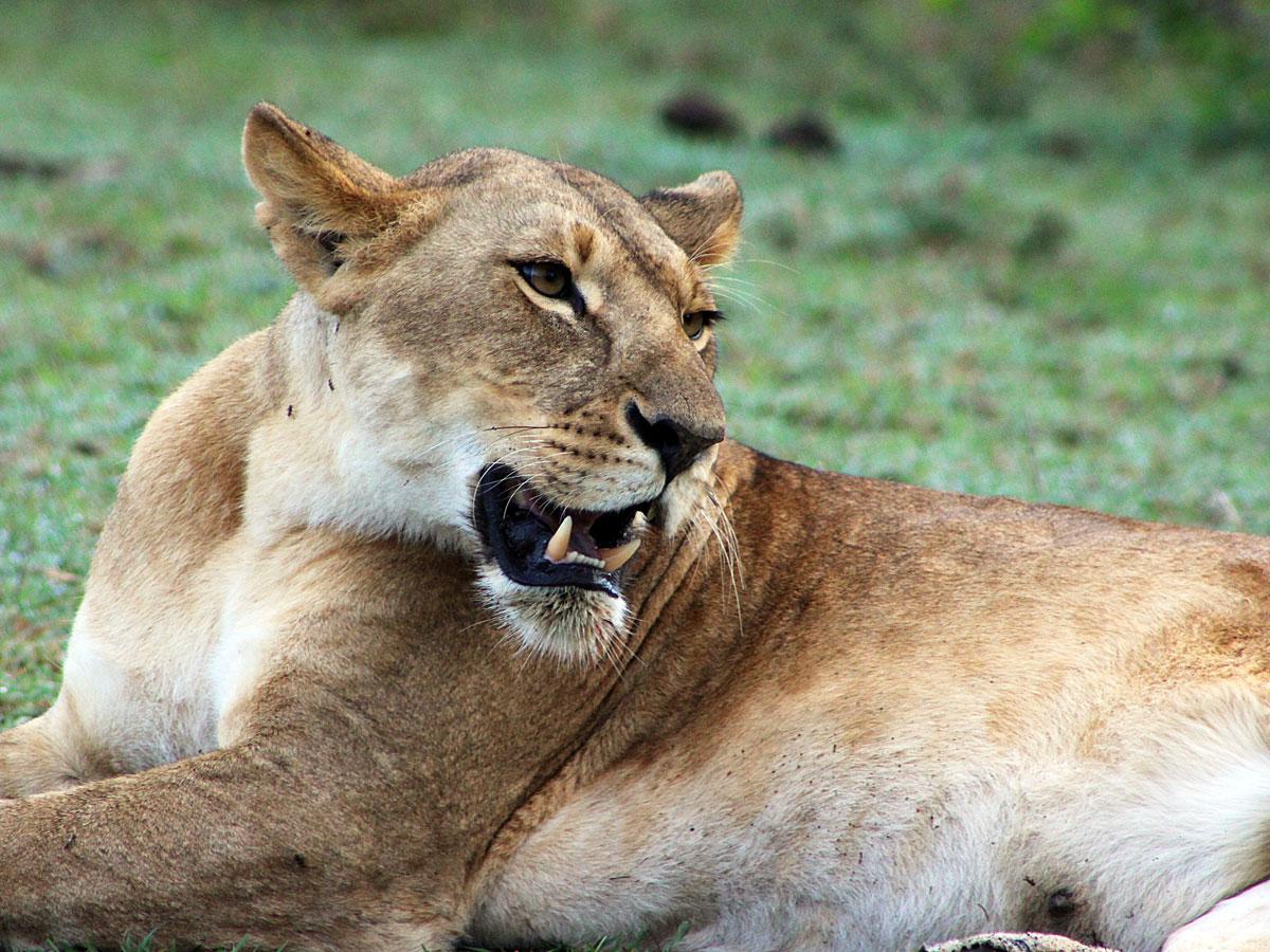 wp-content/uploads/itineraries/Kenya/masai-mara-lion-2.jpg
