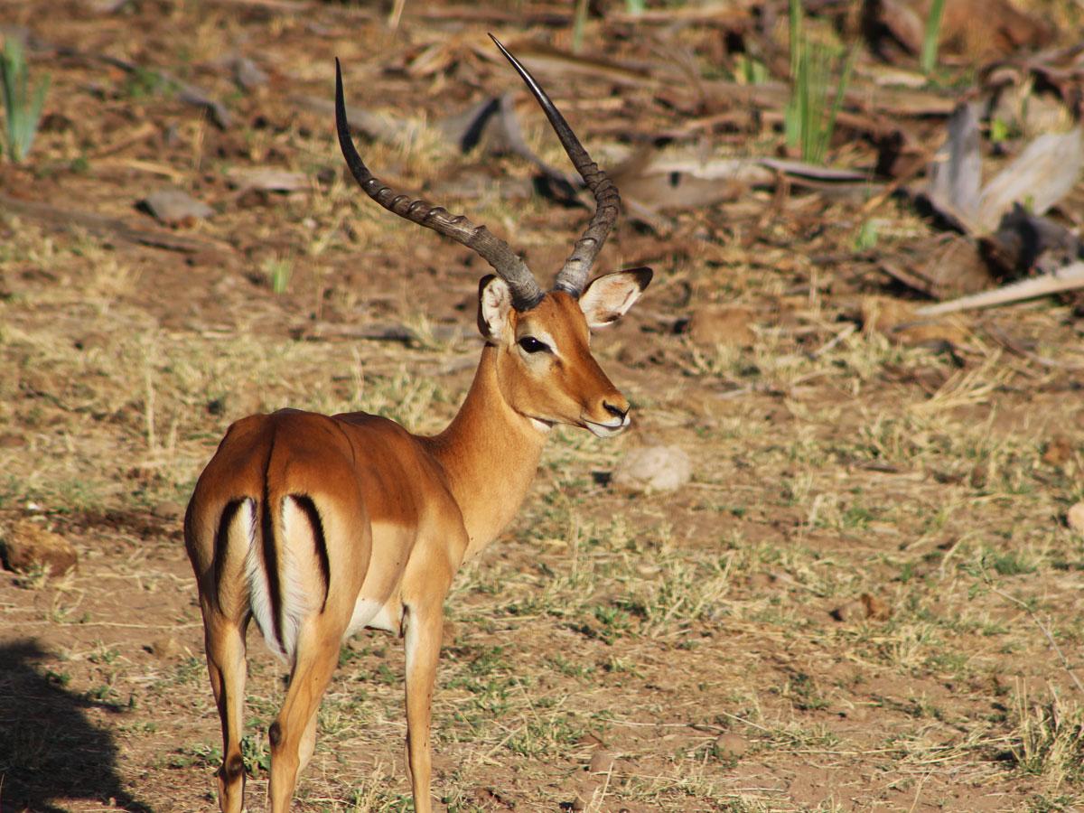 wp-content/uploads/itineraries/Kenya/samburu-impala-1.jpg