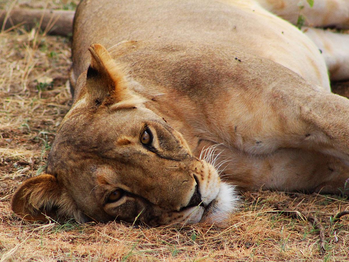 wp-content/uploads/itineraries/Kenya/samburu-lion-1.jpg