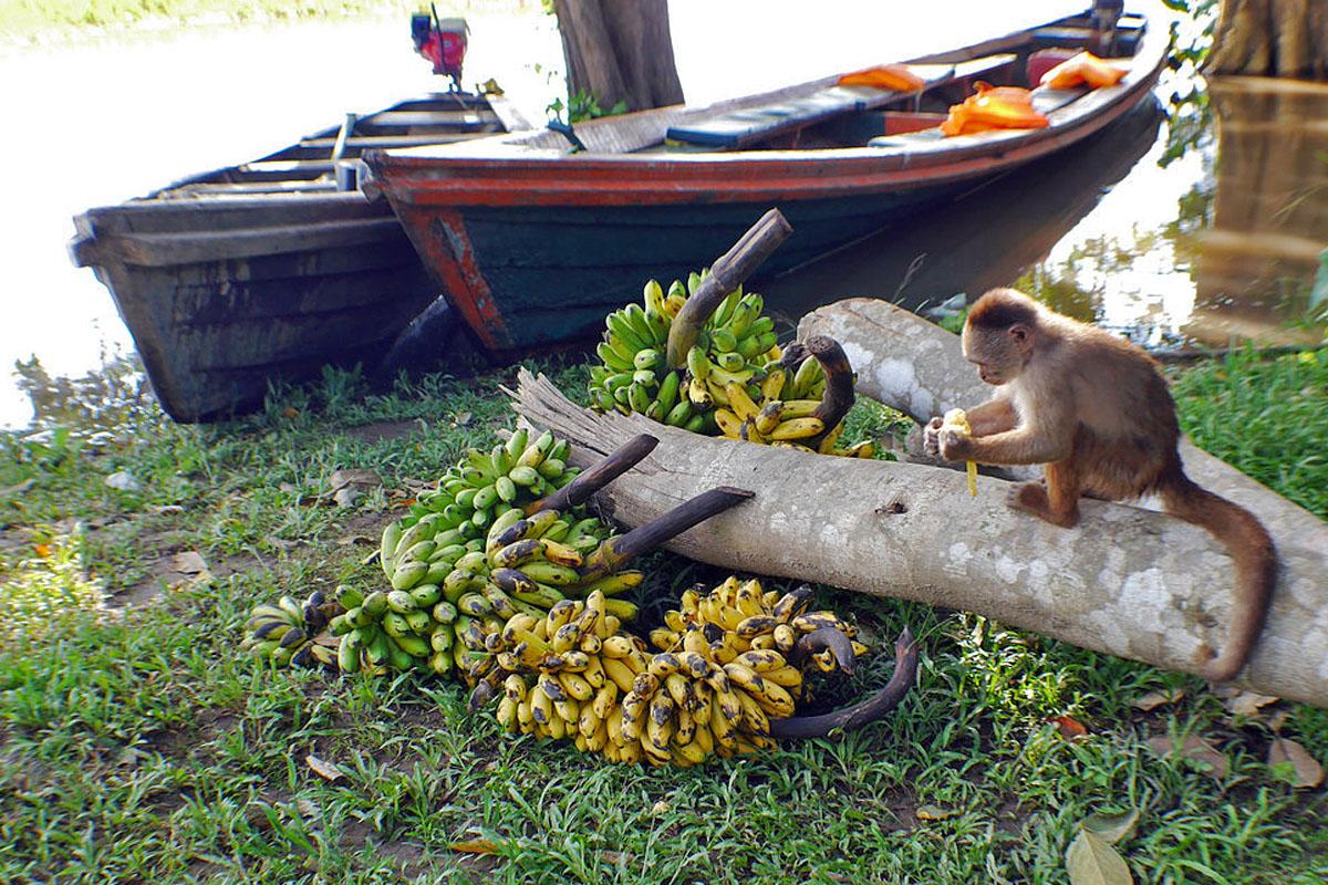wp-content/uploads/itineraries/Peru/amazon-monkey-bananas.jpg