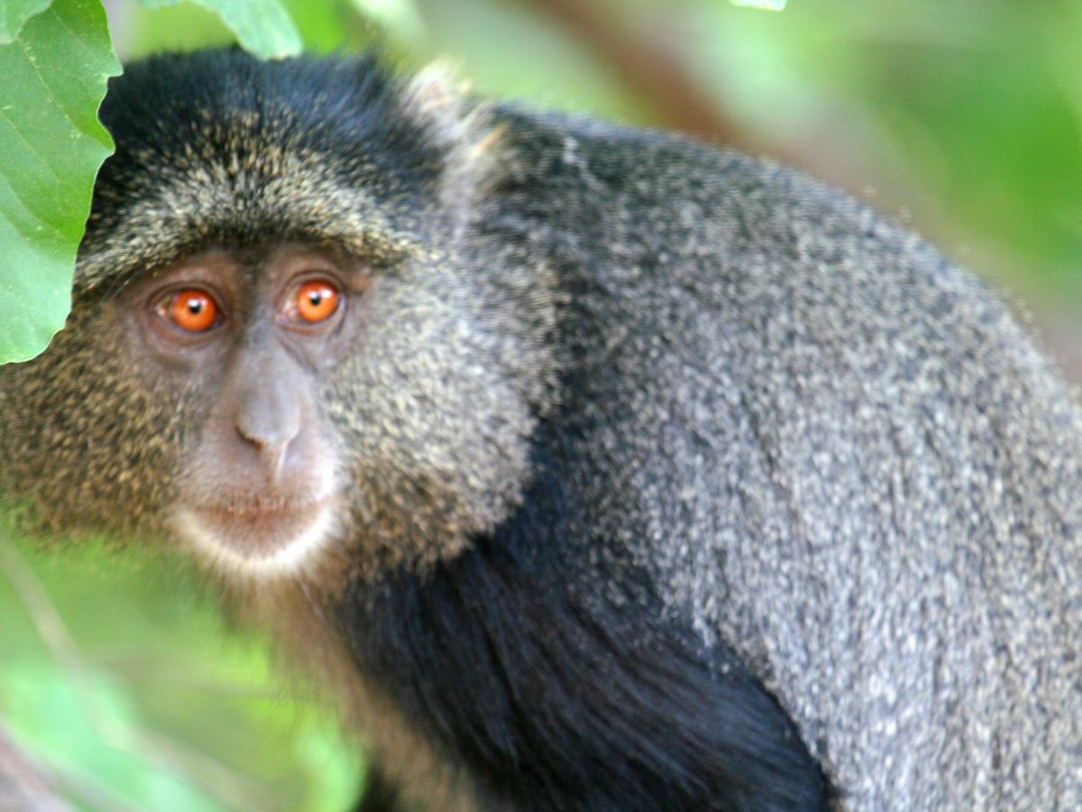 wp-content/uploads/itineraries/Safari/lakemanyara_blue_monkey010708.jpg