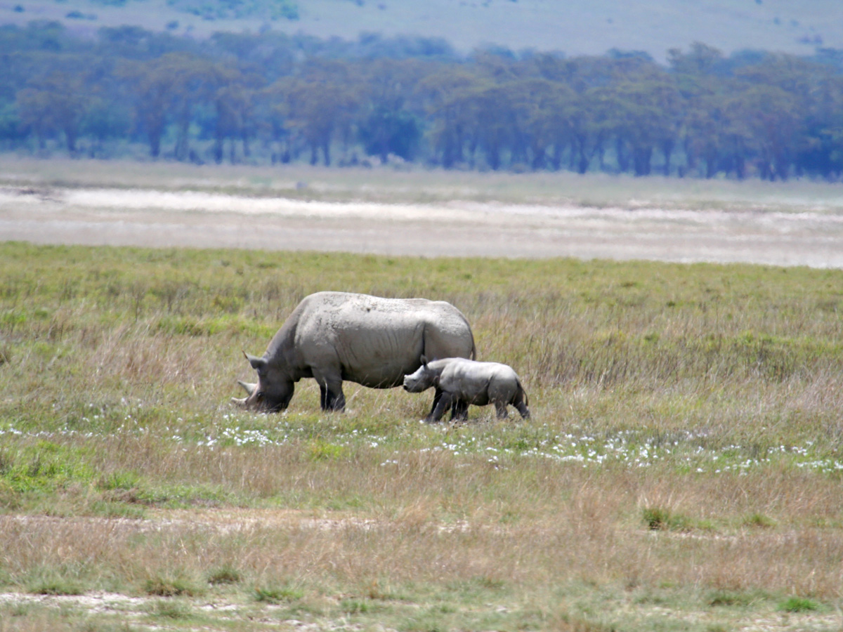 wp-content/uploads/itineraries/Safari/ngorongoro_rhino010908 (63).jpg