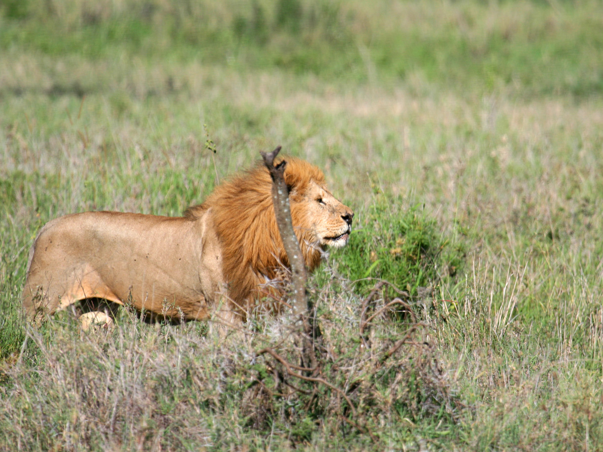 wp-content/uploads/itineraries/Safari/serengeti_lion011008 (10).jpg
