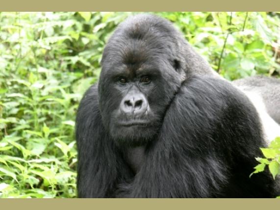 wp-content/uploads/itineraries/Uganda/gorilla.jpg
