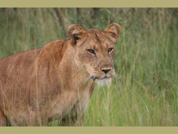 wp-content/uploads/itineraries/Uganda/lion.jpg