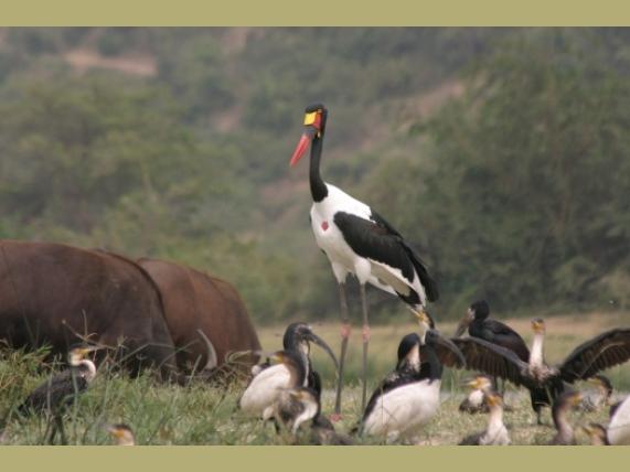 wp-content/uploads/itineraries/Uganda/stork.jpg