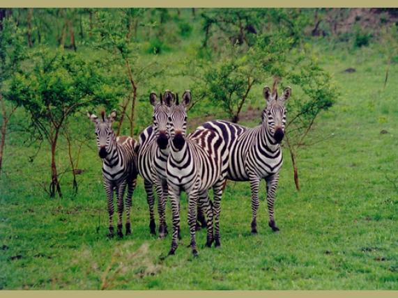 wp-content/uploads/itineraries/Uganda/zebra.jpg